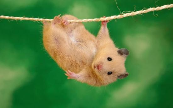 Hamster accroché à un fil
