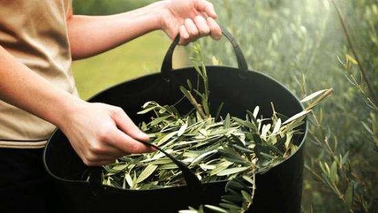 des feuilles d'olivier ramassées dans un sac