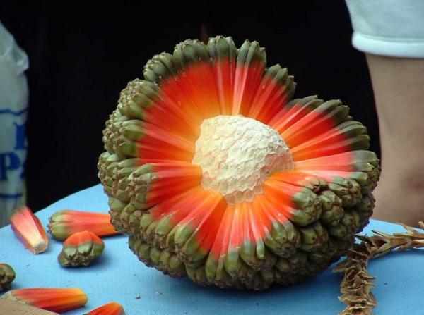 Le fruit de l'Hala ou Pandanus tectorius