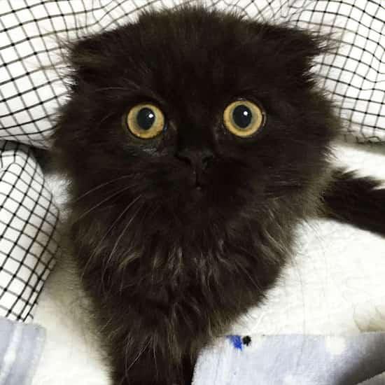 chat noir poils longs scottish regard intense