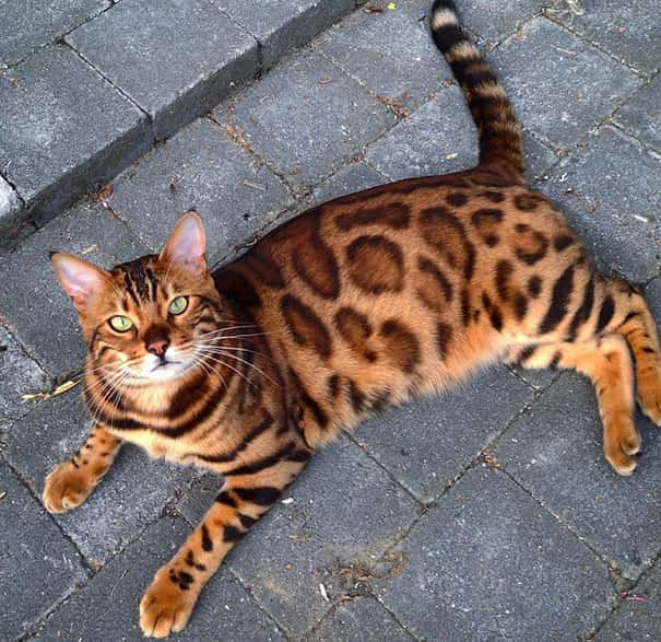 chat bengal yeux verts