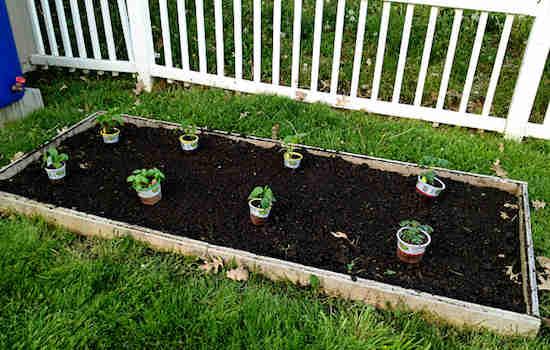 Laisser espace entre plants de tomates