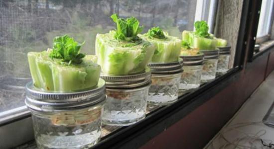 faire repousser des salades à la maison