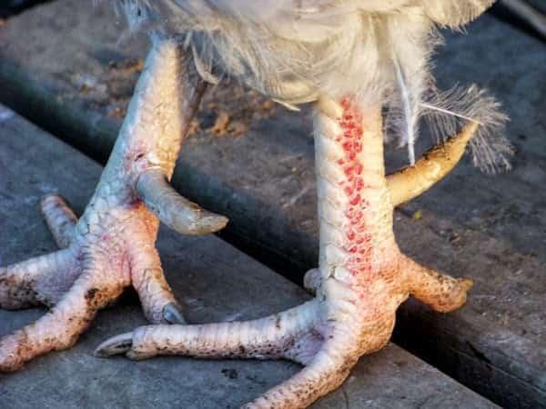 désinfecter pattes des poules