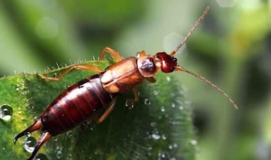 perce oreille utile manger insecte jardin