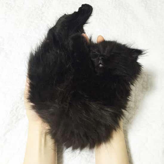 chat scottish qui dort trop mignon