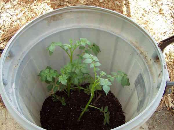 Plants de pommes de terre qui poussent dans le tonneau