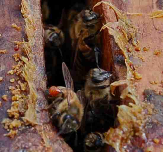 la propolis est une résine faite par les abeilles