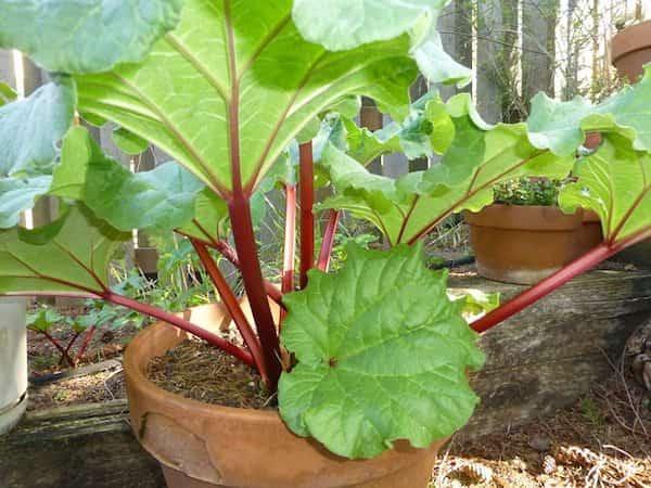 rhubarbe qui pousse en pot