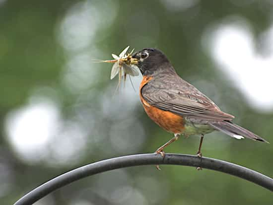 oiseaux bénéfiqu jardin mange insecte