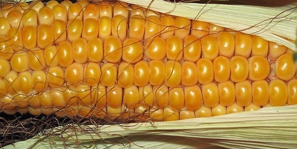 Saviez vous qu'on peut conserver le maïs au congélateur ?
