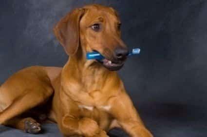 Mettez du dentifrice pour chien sur une corde jeu ou un ose