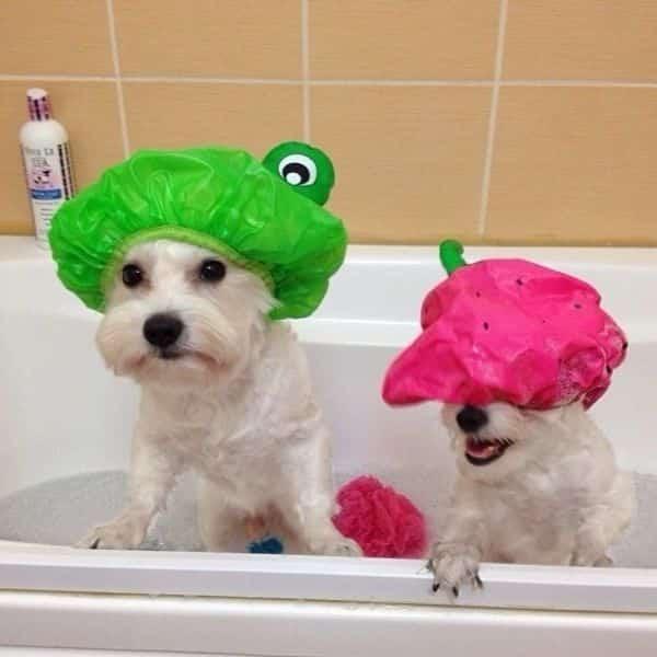 Utilisez un bonnet de douche pour protéger les yeux du chien