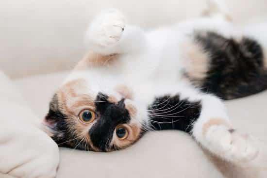 traiter naturellement les puces du chat