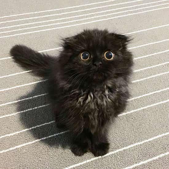 gros chat noir yeux jaunes