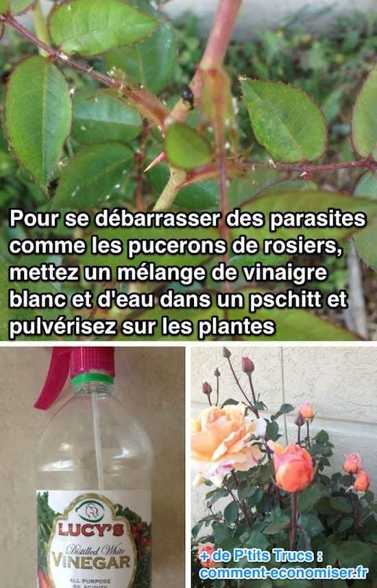 Insecticide naturel pour les rosiers