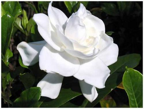 un gardenia veut dire sincérité