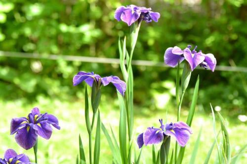les iris sont un symbole de tendresse