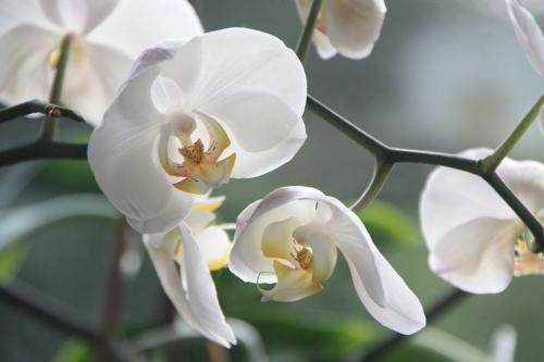 l'orchidée symbolise la séduction ou la sensualité