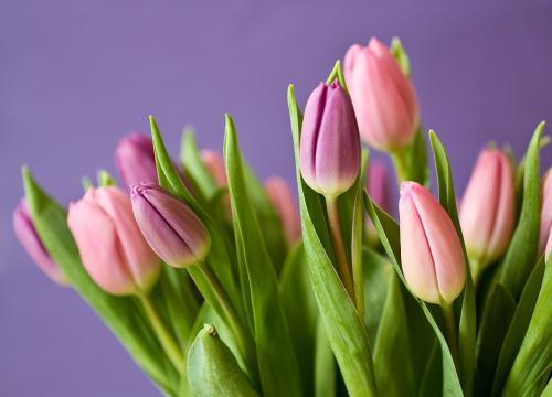 La tulipe est une déclaration d'amour