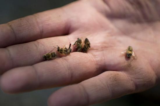 les abeilles meurrent en masse