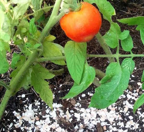 utilisez des coquilles d'oeufs pour empêcher les plantes de tomates de pourrir