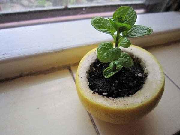 Utilisez la moitié d'un citron pour faire pousser les semis
