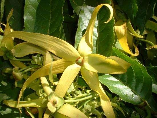 l'odeur des fleurs d'ylang ylang apaise