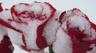 éviter le gel en hiver pour les rosiers astuces jardin