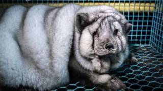 l'industrie de la mode utilise des fourrures d'animaux maltraités pour leur vêtement