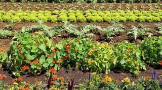 Pourquoi faut-il planter des fleurs dans le potager  ?