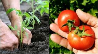 10 Secrets Pour Faire Pousser de BELLES Tomates