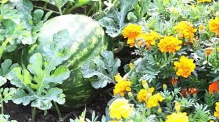 pourquoi faut-il planter légumes et fleurs côte à côte