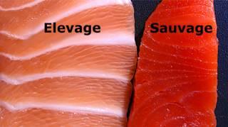 Saumon d'Élevage Est l'Un Des Aliments Les Plus Toxiques Au Monde