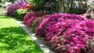 Astuce Magique Pour Que les Azalées Produisent Plus de Fleurs