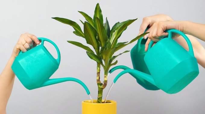 À Quelle Fréquence Arroser Les Plantes d'Intérieur ? Le Guide Simple Et Pratique.