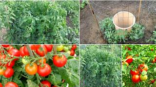 0 Étapes Simples Pour Faire Pousser Entre 15 Et 30 Kilos Par Pied De Tomates