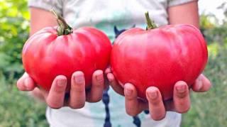 Découvrez les 10 astuces secrètes de maraîcher pour faire pousser des belles TOMATES.