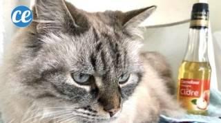 Soigner et nettoyer oreille chat gale ou otite
