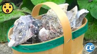 13 Utilisations Étonnantes des Coquilles d'Huîtres