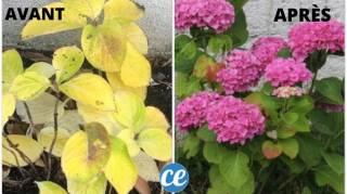 comment éviter que les feuilles d'hortensias jaunissent