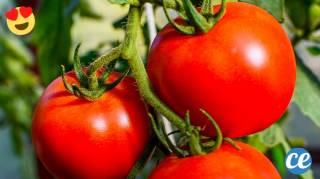 Le Truc de Jardinier Pour Faire Pousser de Belles Tomates PLUS SUCRÉES