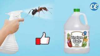 Utilisez Ce Spray Au Vinaigre Blanc Pour Vous Débarrasser des Fourmis