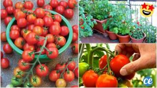 23 Astuces Pour Faire Pousser Un Paquet De Tomates Sur Votre Balcon