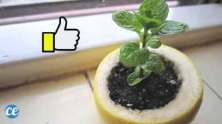 citron germoir