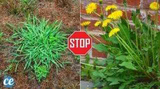 Les 15 Pires Mauvaises Herbes du Jardin (Et les Solutions Pour S'en Débarrasser)