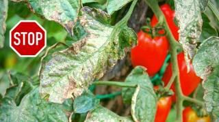 Mildiou des Tomates : Le Traitement Naturel Que Personne Ne Connaît