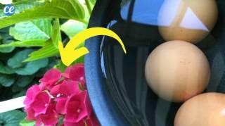 Comment Utiliser L'Eau de Cuisson des Oeufs Comme Engrais
