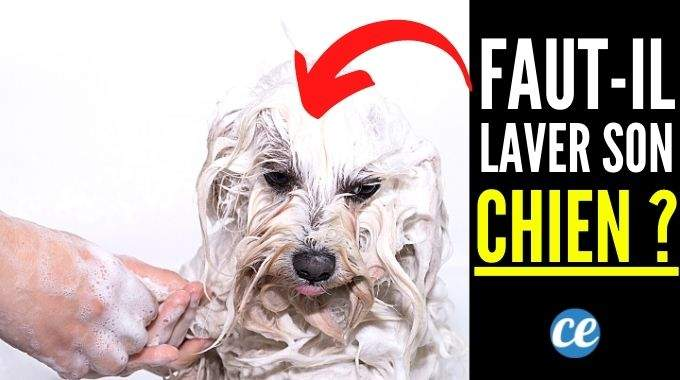 Faut-il Vraiment Laver Son Chien ?
