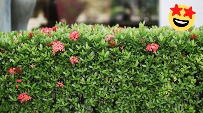 Haies SANS Entretien : 17 Arbustes Qui Poussent Vite et Sans Effort.